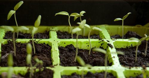 germinate